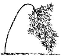 Leaning tree diagram