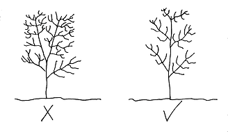 Diagram of tree leader structure