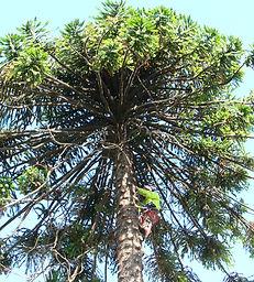 Arborist climbing a bunya bunya tree