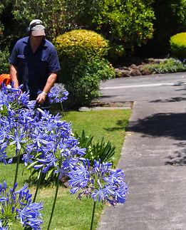 Gardener brushcutting behind agapanthus