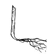 J roots