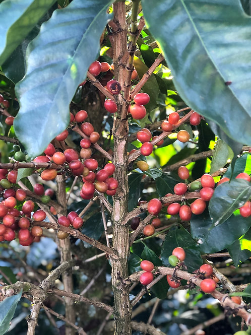 Colombia Pink Bourbon Microlot