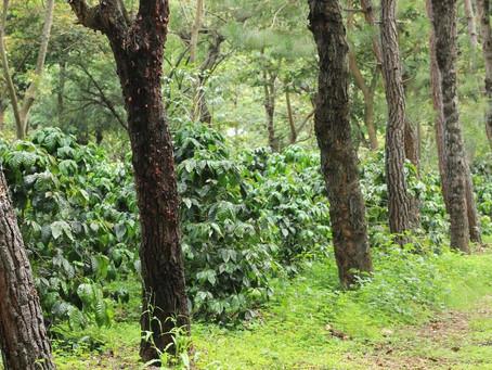 "Guatemala Coffee: ""A Rainbow of Choices"""