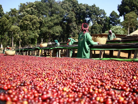 The Birthplace of Coffee – Ethiopia
