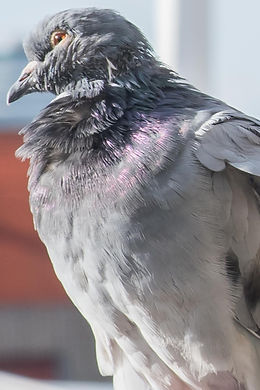 PIGEONSS-4_edited.jpg