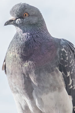 PIGEONSS-3_edited.jpg