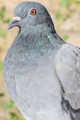 PIGEONSS-2_edited.jpg