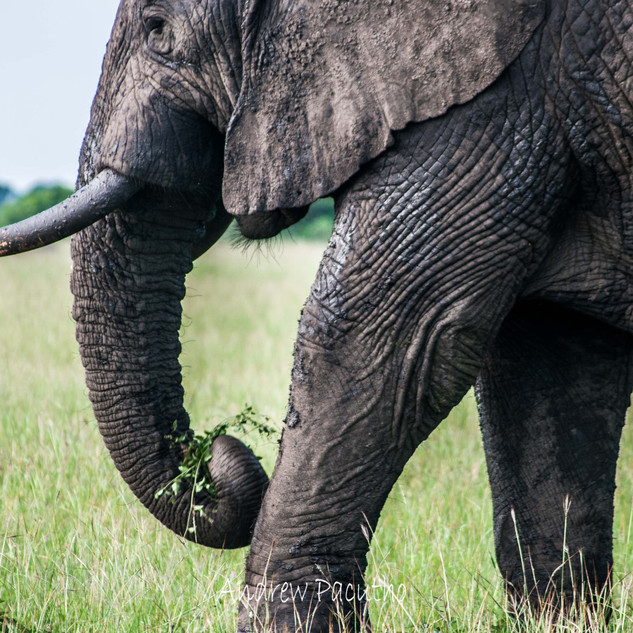 A forest Elephant in Queen Elizabeth NP.