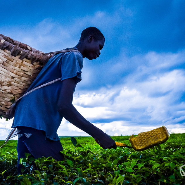 Man harvesting tea at the tea plantaion
