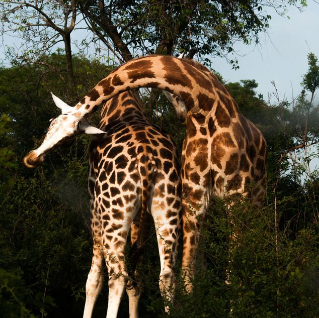 Girraffes in Murchison Falls NP.jpg