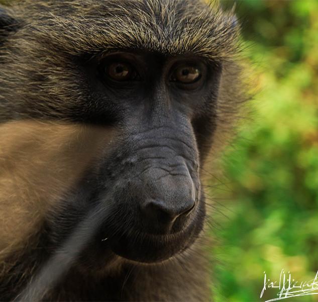 Copy of Baboon .jpg