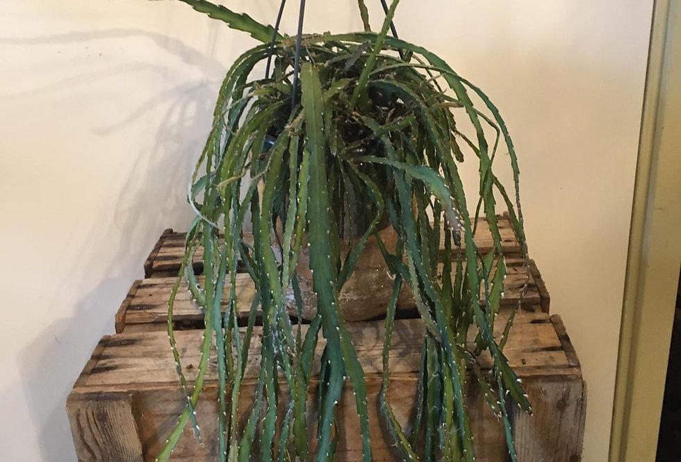 Hangplant Rhipsalis