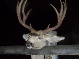 mule-deer-b4-2005-17.jpg