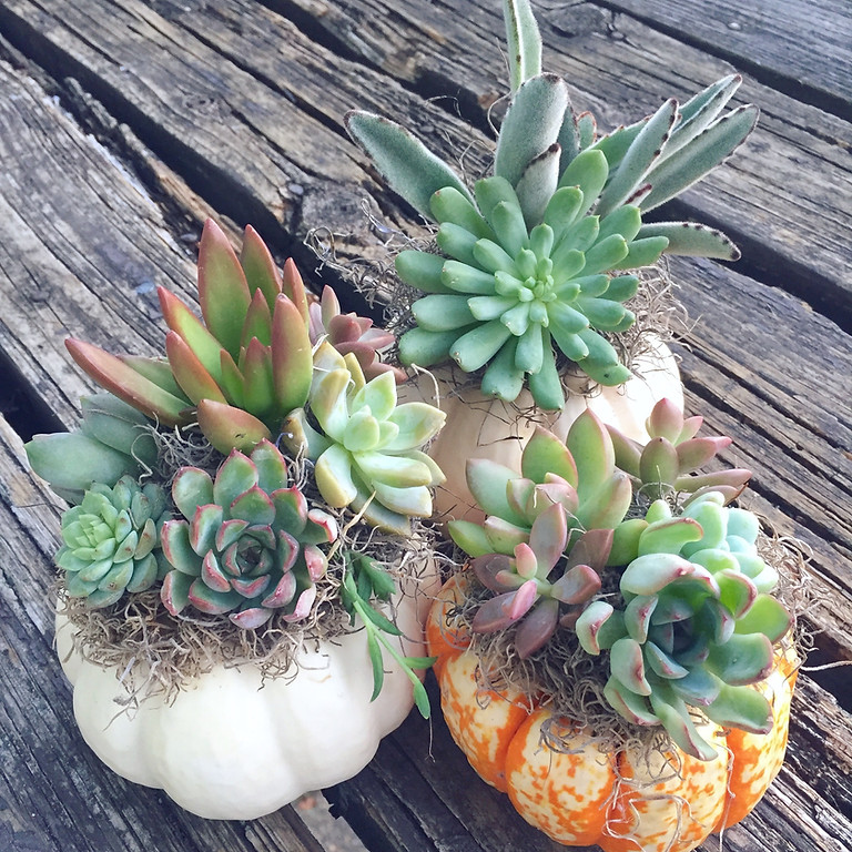 Pumpkin Succulents and Mimosas