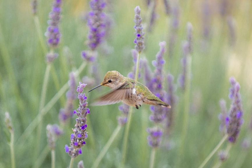 snapwire hummingbird lavendar image smal