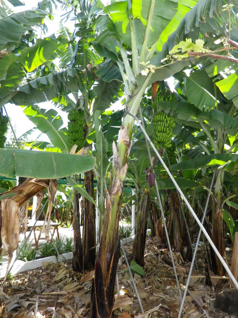 Banana Plantation in BackGarden