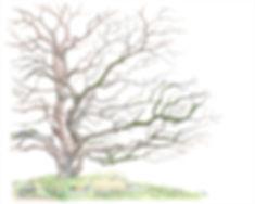 Strain,Vi-CA Native Buckeye tree.jpg