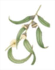 Ramlan, Dayna - Blue Gum (Eucalyptus glo