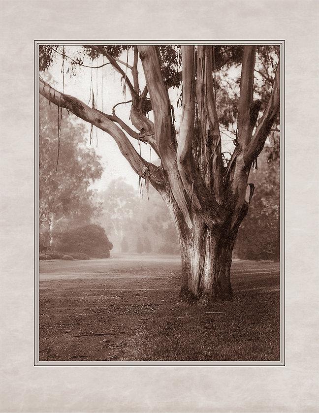 EucalyptusHistoricalPhotograph.jpg