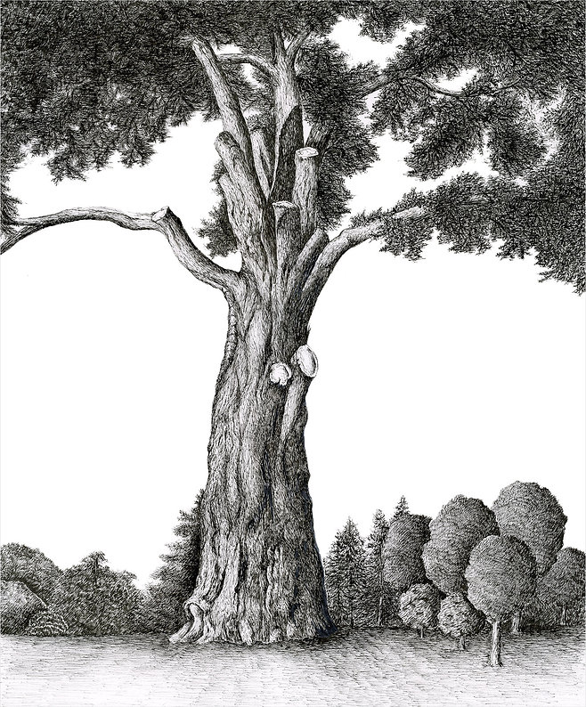 Peyton, Elizabeth-Monterey Cypress.jpg