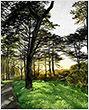 36-Sellergren-Katie_Monterey Cypress.jpg