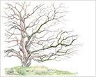 05-Strain,Vi-CA Native Buckeye tree.jpg