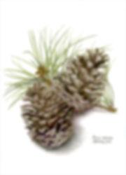 Peyton, Elizabeth -Pinus Radiata.jpg