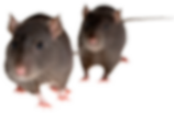 rat_mouse_PNG2456.png