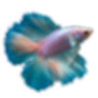 Betta-PNG-Clipart.png