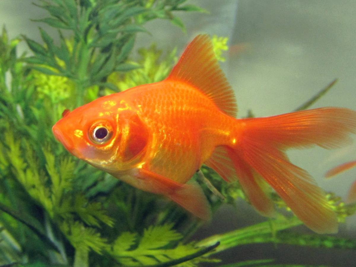 1200-474949540-fantail-goldfish.jpg