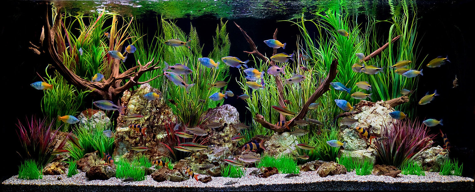 Fish for aquarium freshwater - 62_1aquarium_tropicalfish_fishtank 62_1aquarium_tropicalfish_fishtank