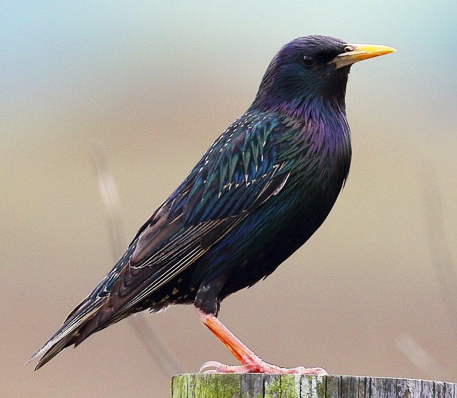 Visiting Starling