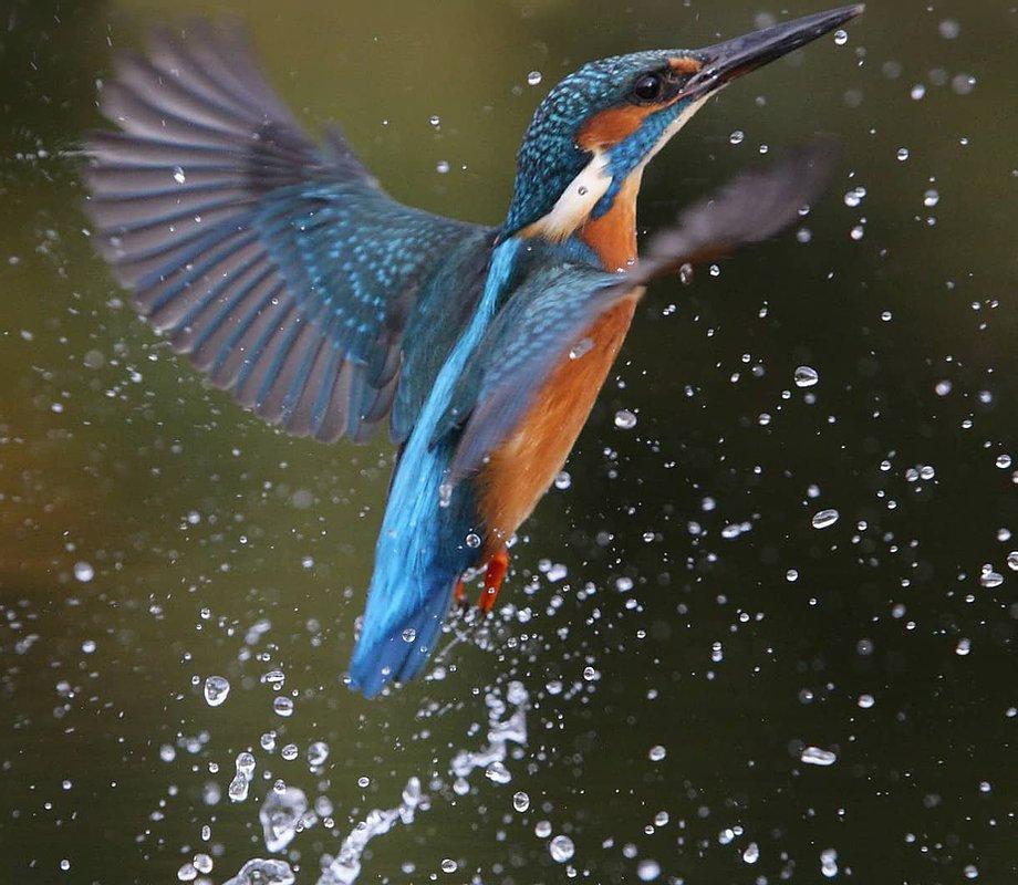 Visiting Kingfisher