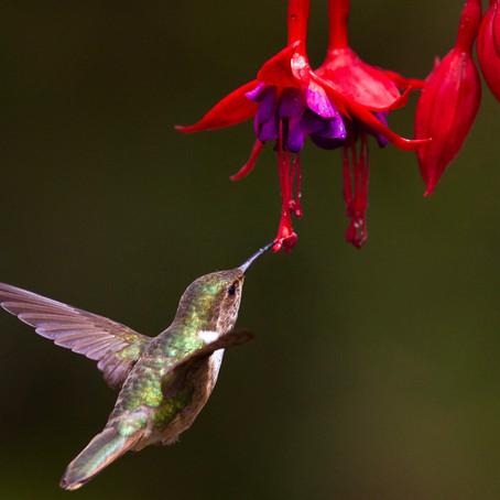 Hummingbird Wars