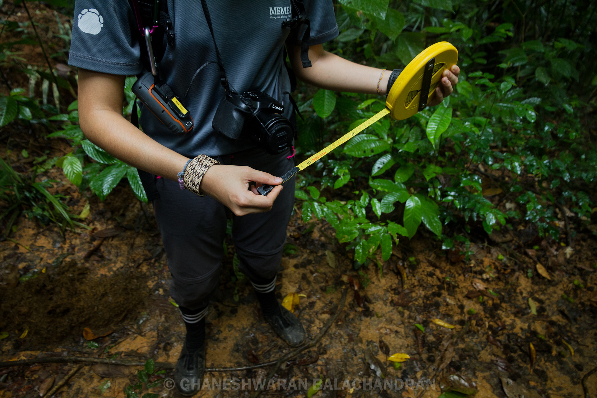 "Some trees rely on animals to eat their fruit and later defecate their seed elsewhere. Elephants with their voracious appetite are also known as ""gardeners of the forest."" MEME team member conducting a transect survey to measure the seed dispersal network of the rainforest."
