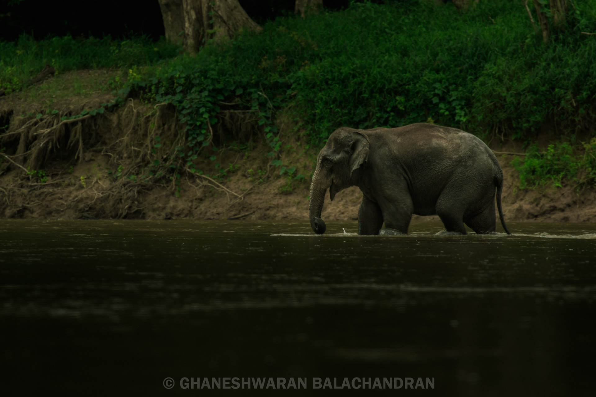 One member of a herd of elephants crossing the river