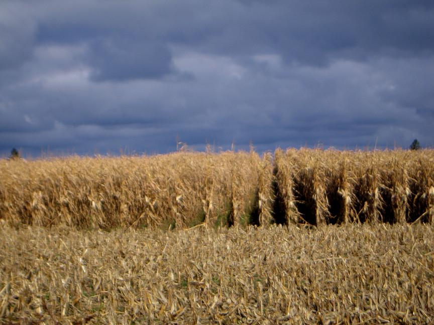 Harvesting corn stalks