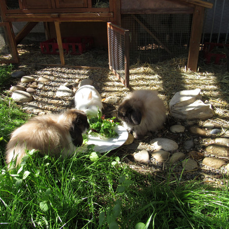 Our rescued rabbits dining al fresco