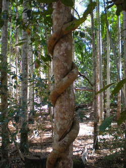Forest in the Northern Territory