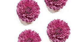 41455 Set of 4 Pale Pink 4 inch Dahlia Magnet