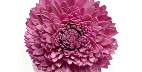 41055 Pale Pink 4 inch Dahlia Magnet