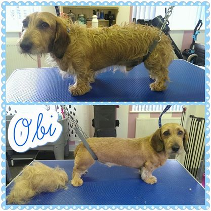 Obi - Wirehaired Daxi