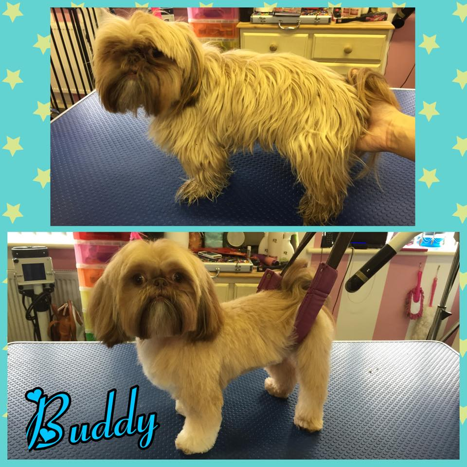 Buddy - Imperial Shih Tzu