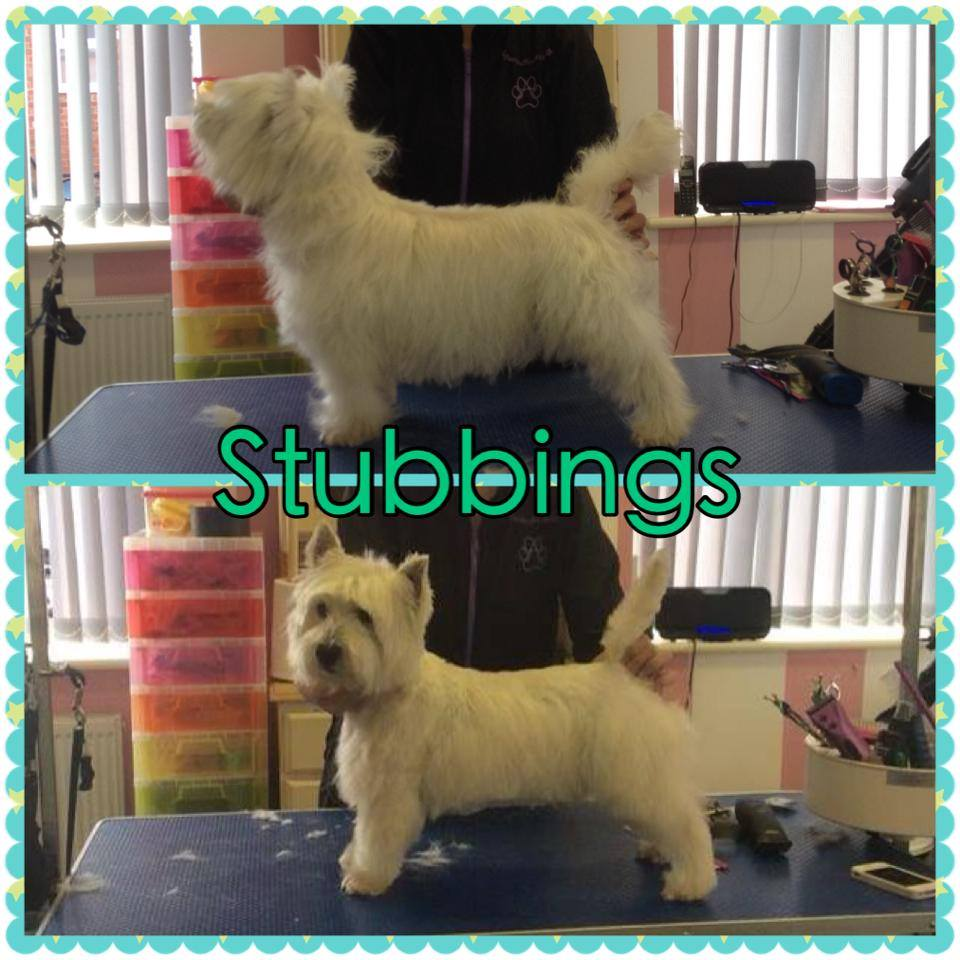 Stubbings - West Highland Terrier