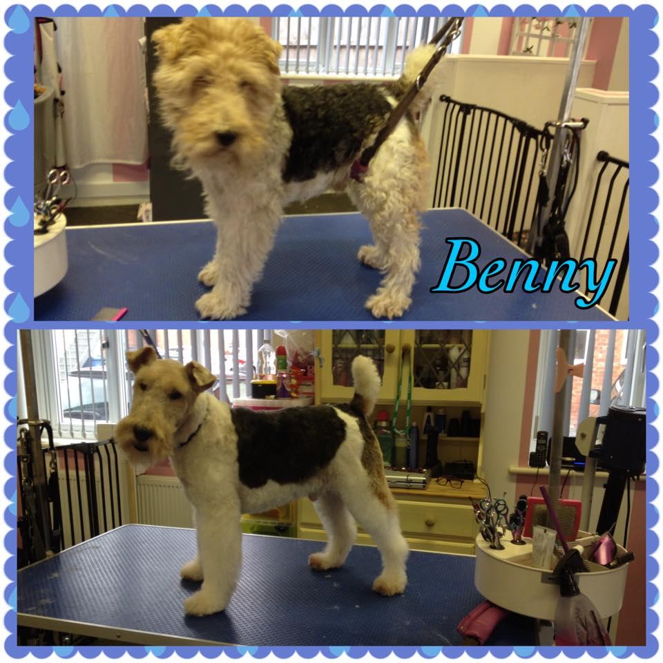Benny - Fox Terrier