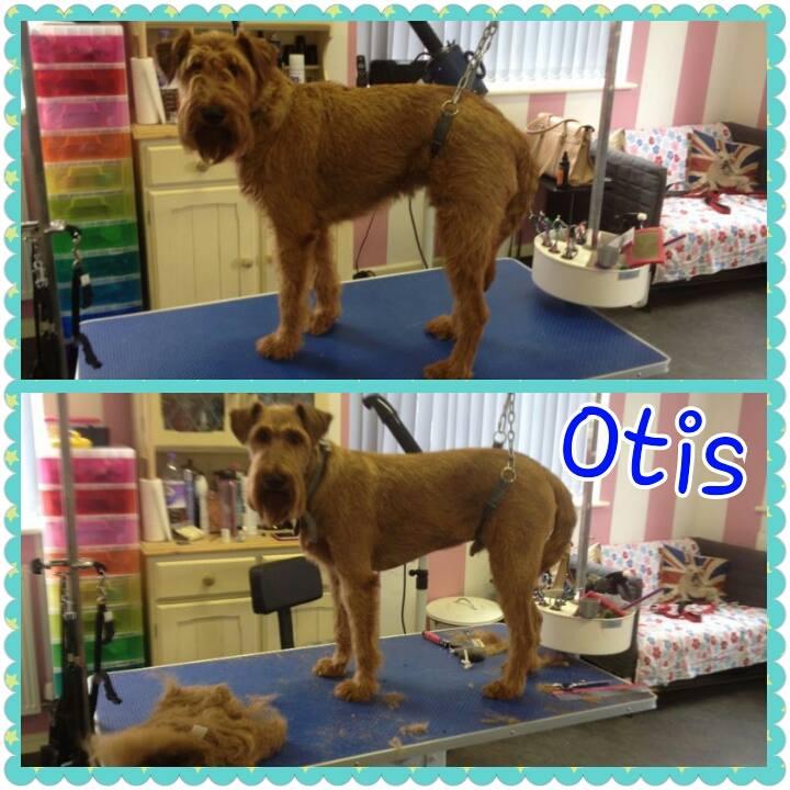 Otis - Irish Terrier