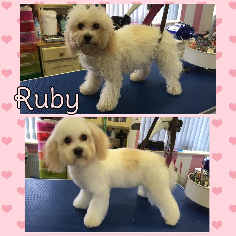 Ruby - Cavapoo