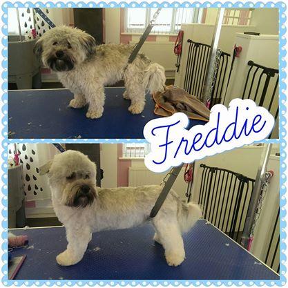 Freddie - Havanese