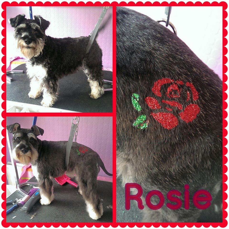 Rosie - Mini Schnauzer
