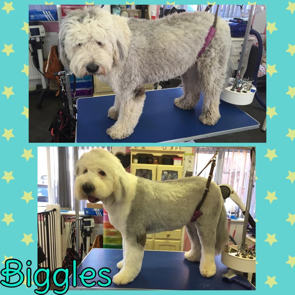 Biggles - Old English Sheepdog